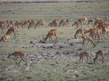 Impala in Nationalpark Chobe Lizenzfreies Stockfoto