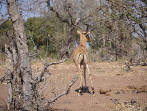Impala in Nationalpark Chobe Stockfotos