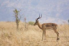 Impala in natuurlijke habitat royalty-vrije stock afbeelding