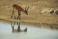 Impala near river Royalty Free Stock Images