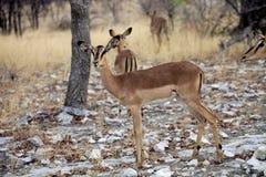 impala Negro-hecho frente, petersi del melampus del Aepyceros, Etosha, Namibia Imágenes de archivo libres de regalías