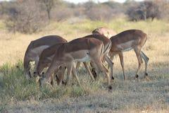Impala nel Botswana/Sudafrica Fotografie Stock Libere da Diritti