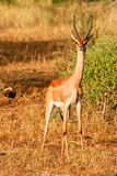Impala nel cespuglio di Samburu, Kenia immagine stock