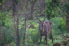 Impala nel parco di Kruger Fotografia Stock Libera da Diritti