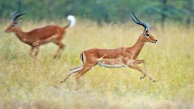 Impala nel selvaggio Fotografia Stock