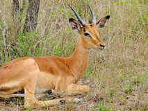 Impala nel Sudafrica Fotografie Stock