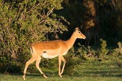 Impala nel tramonto immagine stock