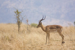 Impala no habitat natural Imagem de Stock Royalty Free