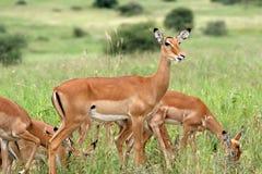 Impala no parque nacional de Tarangire, Tanzânia Imagem de Stock