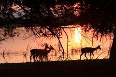 Impala no por do sol Fotos de Stock