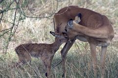 Impala nuevamente llevado (melampus del Aepyceros) Fotos de archivo