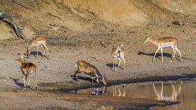 Impala and Nyala in Kruger National park Stock Image