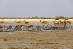 Impala och springbock på waterholen Royaltyfria Bilder