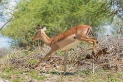 Impala op de looppas Stock Afbeeldingen