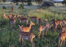 Impala op een grasontruiming bij zonsondergang die terwijl het kijken uit voor roofdieren eten stock afbeeldingen