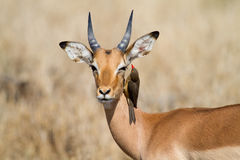 Impala and oxpecker. A red-billed oxpecker looks for ticks in a young impala ram's ear stock images