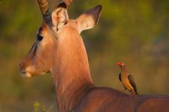 Impala and oxpecker Stock Photography