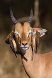 Impala and oxpeckers Stock Images