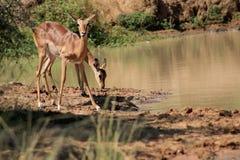 Impala på blicken ut arkivfoto