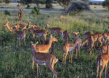 Impala på en gräsrensning på solnedgången som äter, medan se ut för rovdjur arkivbilder