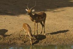 Impala pair Royalty Free Stock Photography
