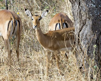 Impala parcialmente detrás de un árbol Foto de archivo libre de regalías