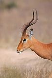 Impala, parque de Kruger, Suráfrica Fotografía de archivo