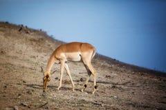 Impala pasanie na ziemi w Południowa Afryka Fotografia Royalty Free