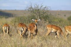 Impala patrzeje w kamerę przy Nairobia parkiem narodowym, Nairobia, Kenja, Afryka Obrazy Stock