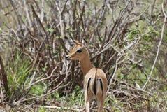 Impala (petersi del melampus del Aepyceros) Foto de archivo libre de regalías