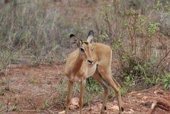 Impala (petersi del melampus del Aepyceros) Imagenes de archivo