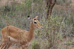 Impala (petersi del melampus del Aepyceros) Imagen de archivo