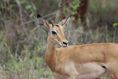 Impala (petersi del melampus del Aepyceros) Fotografía de archivo libre de regalías