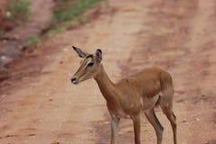 Impala (petersi del melampus del Aepyceros) Imágenes de archivo libres de regalías