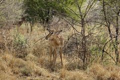 Impala in Pilanesberg National Park Royalty Free Stock Images