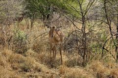 Impala in Pilanesberg National Park Stock Photos