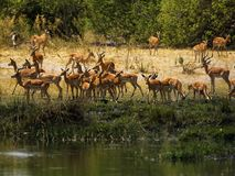 Impala, plains game beside the water. Herd of Impala rams and ewes in the open african plains stock images
