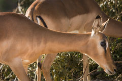 Impala portrait royalty free stock image