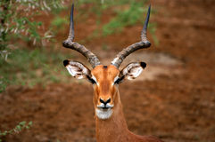 Impala Portrait. Portrait of an impala at the Kruger National Park in South Africa Stock Image
