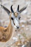 Impala, portrait Photo stock