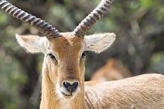 Impala portrait Stock Image