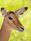 Impala portrait - African safari Royalty Free Stock Photography