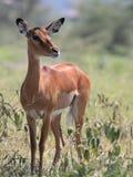 Impala. Portrait of impala in African savannah Masai Mara Royalty Free Stock Photo