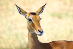 Impala portrait Stock Photography