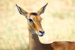 Impala portrait Stock Photography