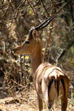 Impala Portrait in Botswana. Impala looking at camera near Gaborone, Botswana stock photography