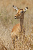 Impala Portrait Royalty Free Stock Photos