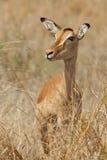 Impala Portrait royalty free stock photos
