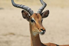 Impala - Portrait of a Young Ram Royalty Free Stock Image