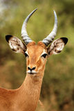 Impala pp Royalty Free Stock Photo